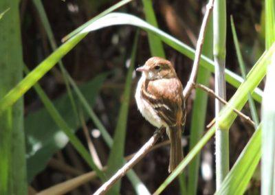 Filipe (Myiophobus fasciatus)