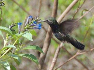 Beija-flor-de-peito-azul (Amazilia lactea)