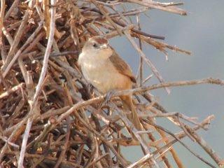 João-de-pau (Phacellodomus rufifrons)
